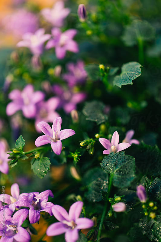 lilac  flowers in the park by Javier Pardina for Stocksy United