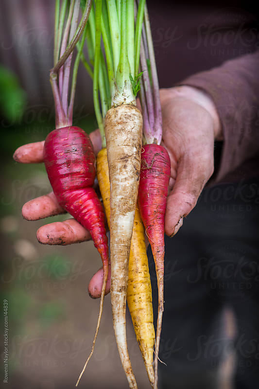 Heirloom Carrots Just Harvested by Rowena Naylor for Stocksy United