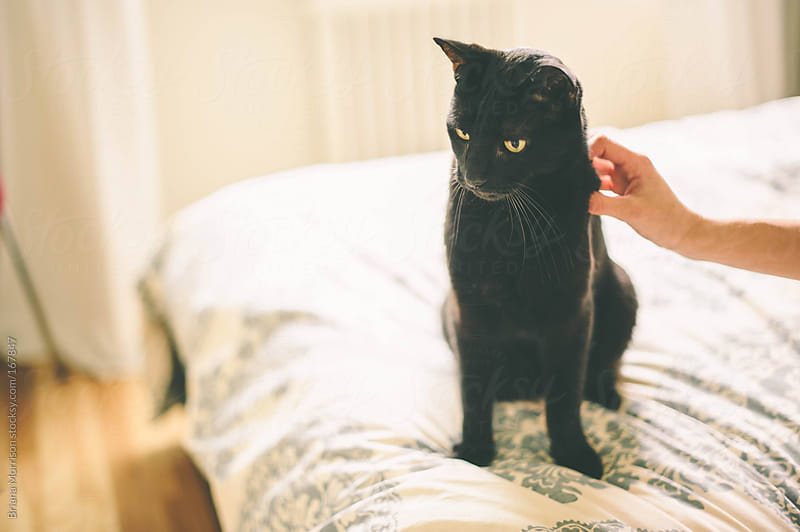 Black Cat being Pet on A Bed by Briana Morrison for Stocksy United
