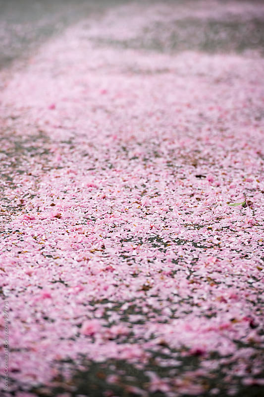 Pink Cherry Blossom Petals On The Ground by Ronnie Comeau for Stocksy United