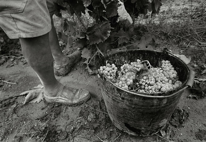 Grape harvest by Miquel Llonch for Stocksy United