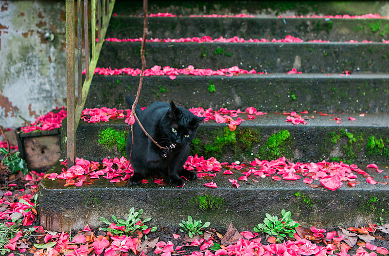 Black cat playing with a branch on a concrete staircase covered in flower petals by Mihael Blikshteyn for Stocksy United