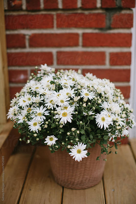 White Daisies in a Pot by Sidney Morgan for Stocksy United
