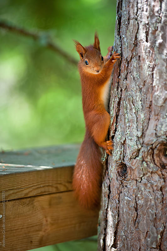 curious squirrel by Andreas Gradin for Stocksy United
