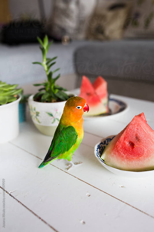 Parrot and watermelon by Jovana Rikalo for Stocksy United