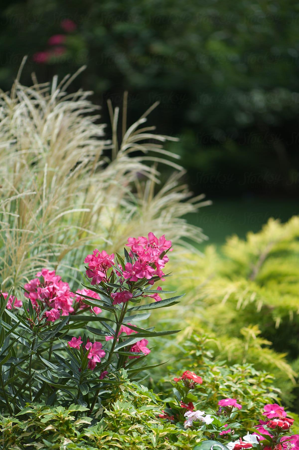 Hot Pink Oleander Ornamental Grass Amp Gold Juniper Stocksy United