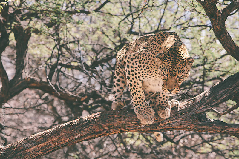 Leopard in a tree by Micky Wiswedel for Stocksy United