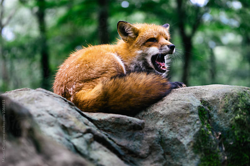 Yawning red fox sitting on a rock by Manuel Chillagano for Stocksy United