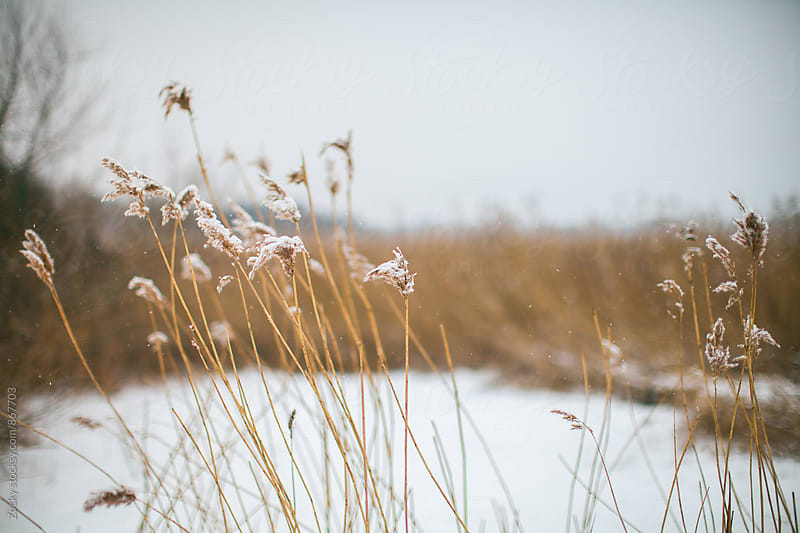 Snow and reed in front of a frozen lake by Zocky for Stocksy United