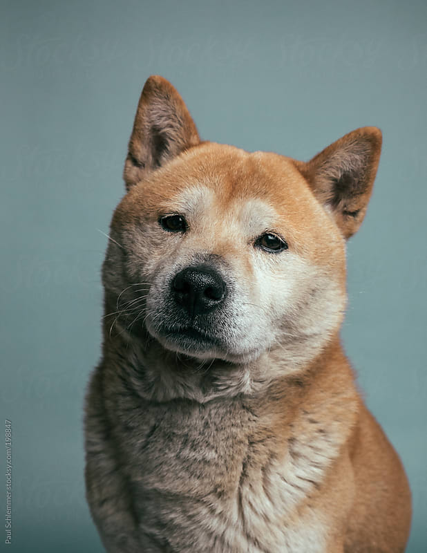 portrait of shiba inu dog  by Paul Schlemmer for Stocksy United