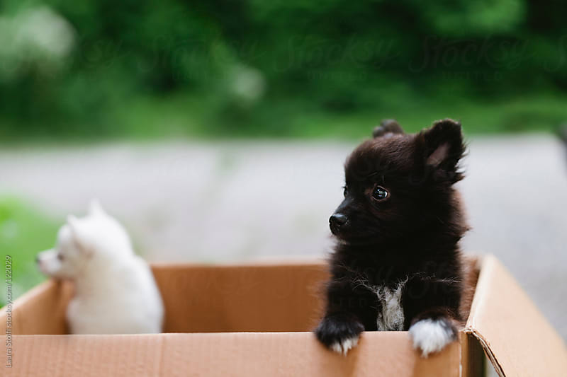 Two stray spitz puppy dogs standing on their feet in a cardboard box  by Laura Stolfi for Stocksy United