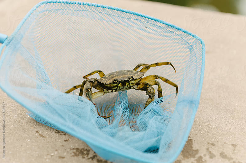 Crab in child's fishing net by Rebecca Spencer for Stocksy United