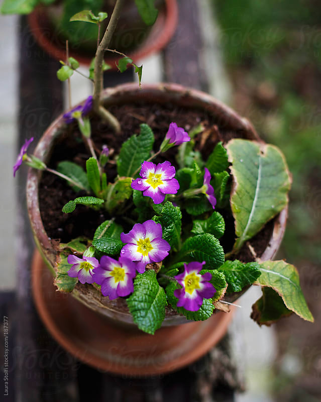Overhead shot of purple primroses in pot on wooden bench by Laura Stolfi for Stocksy United