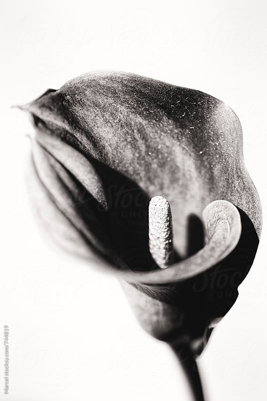 Black and white image of a calla flower by Marcel for Stocksy United