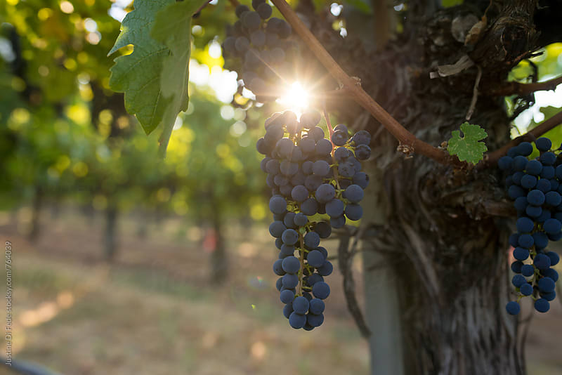 Napa Valley Vineyards by Justine Di Fede for Stocksy United