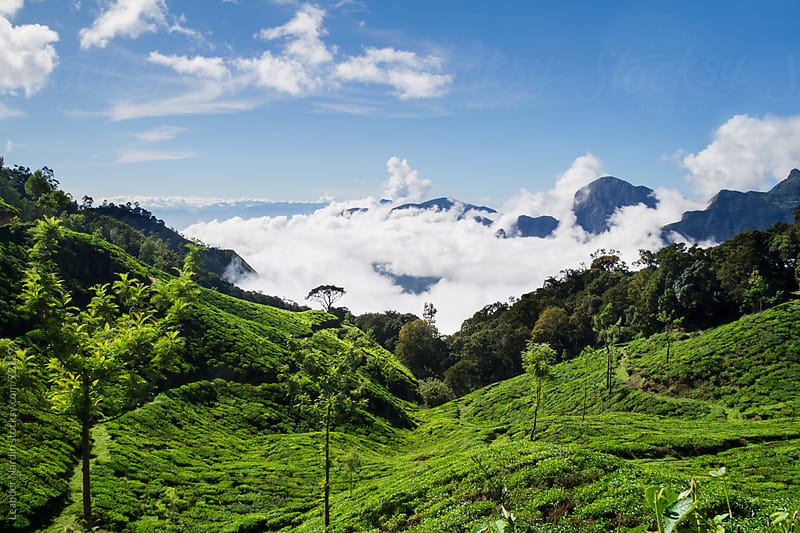 tea plantation in south india  by Leander Nardin for Stocksy United