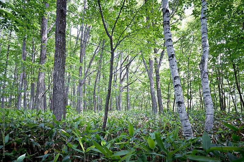 Trees in forest by Lawren Lu for Stocksy United