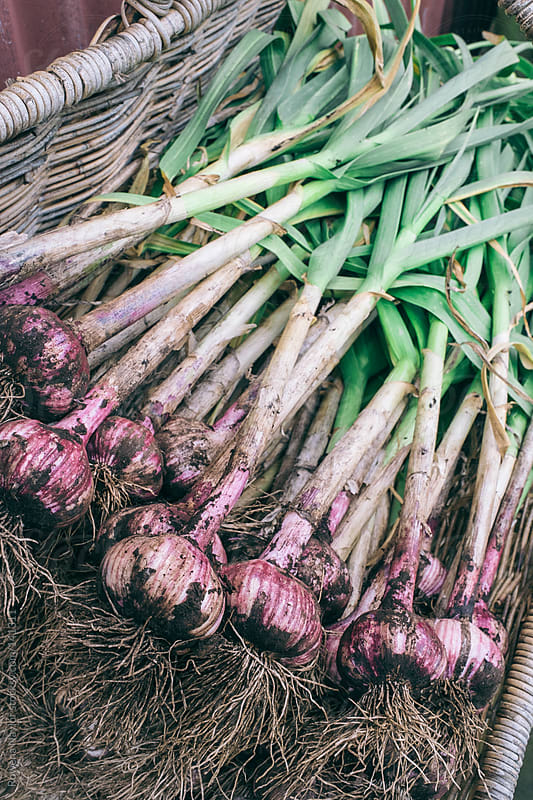 Organic Garlic Bulbs Just Harvested by Rowena Naylor for Stocksy United