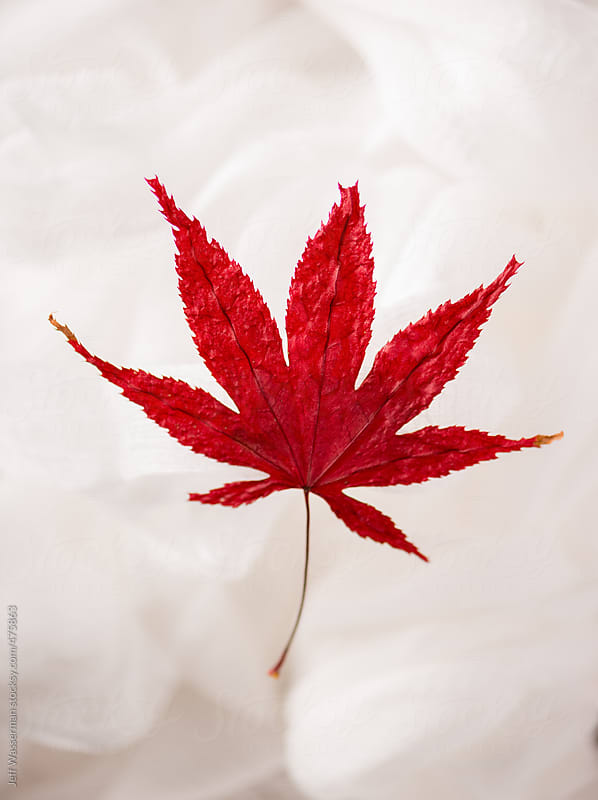 Dried Fall Japanese Maple Leaf by Jeff Wasserman for Stocksy United