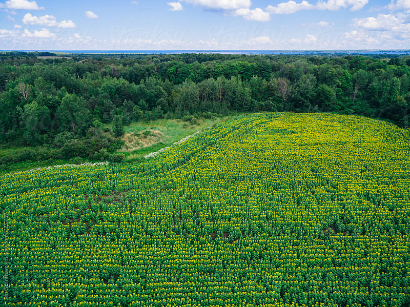 Overhead drone image of a sunflower field by Jen Grantham for Stocksy United