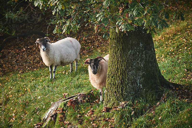 Sheep behind a tree. Cumbria, UK. by Liam Grant for Stocksy United