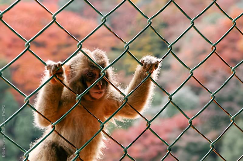 Monkeys at Iwatayama Monkey Park by Erik Naumann for Stocksy United