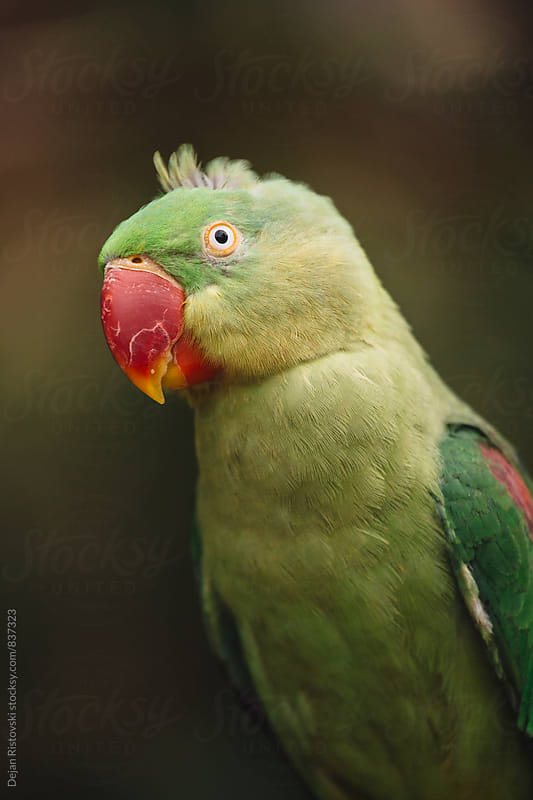 Green Parrot. by Dejan Ristovski for Stocksy United