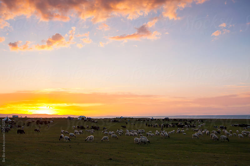 sunset at grassland with herd grazing by Bo Bo for Stocksy United