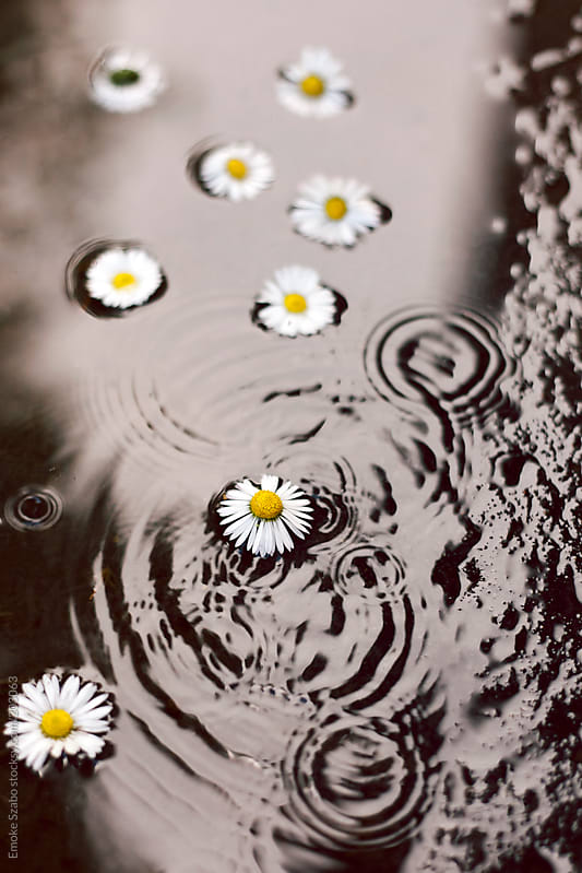 Daisies in the puddle  by Emoke Szabo for Stocksy United