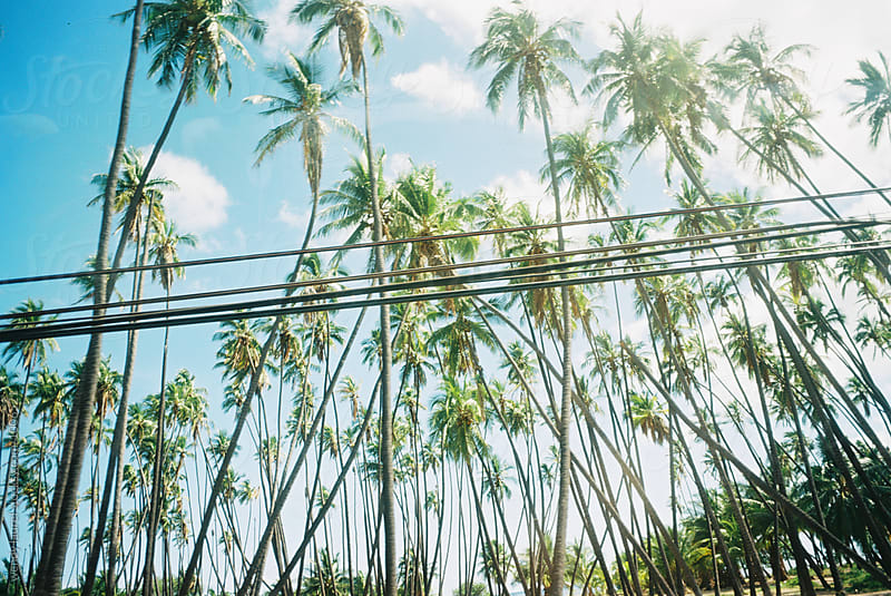 grove of palm trees with electrical lines by wendy laurel for Stocksy United