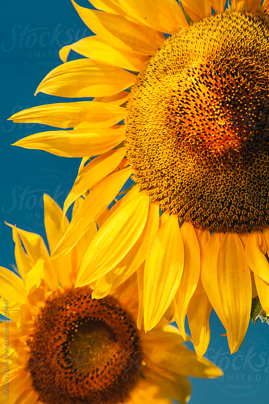 Sunflower details by Borislav Zhuykov for Stocksy United