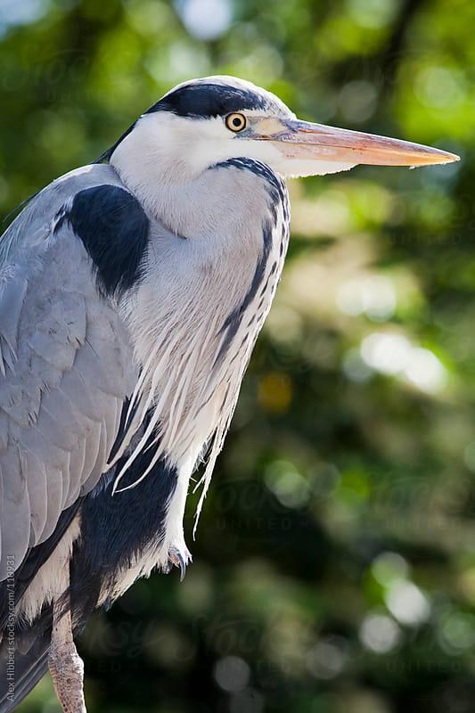 Grey Heron by Alex Hibbert for Stocksy United