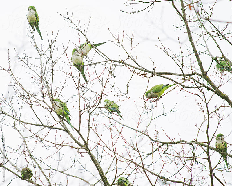 Many wild green parrots perching on leafless tree branches in the town of Pavia in Italy by Laura Stolfi for Stocksy United