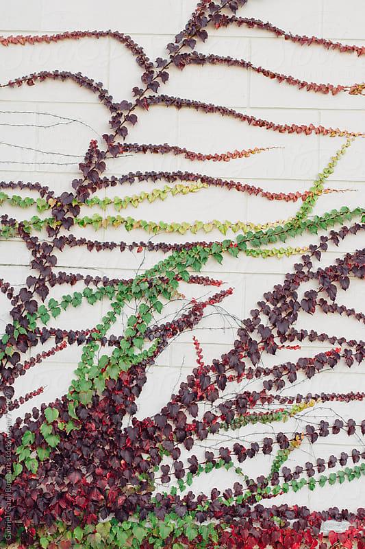 Creeping ivy in fall colors by Gabriel (Gabi) Bucataru for Stocksy United