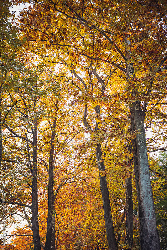Trees with yellow leaves in the park by Maja Topcagic for Stocksy United