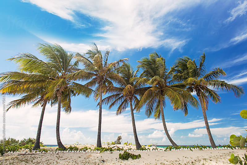 Line of tropical palm trees against a vibrant blue sky by anya brewley schultheiss for Stocksy United