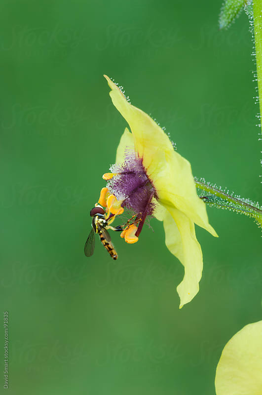 Hoverfly on a yellow moth mullein flower by David Smart for Stocksy United
