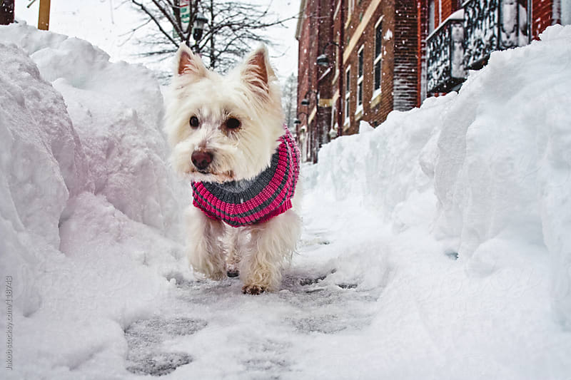 A cute white dog in a sweater walking on a snowy sidewalk by Jakob for Stocksy United