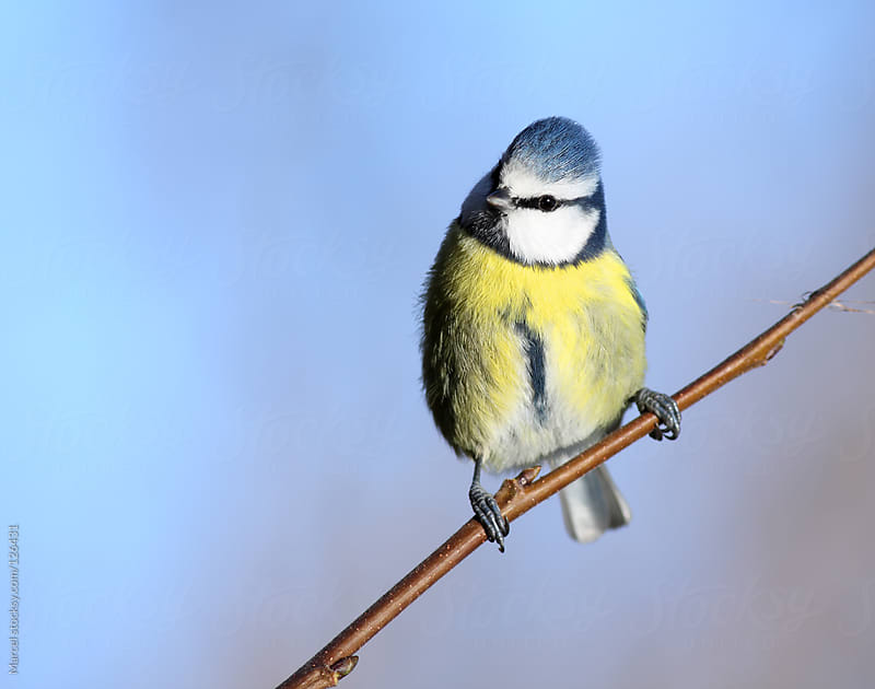 Blue tit perching, against blue sky by Marcel for Stocksy United