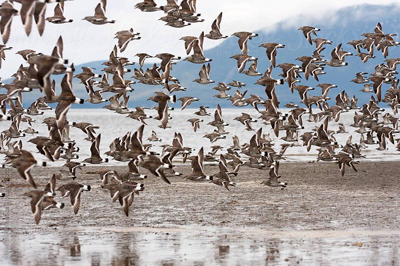 Flock of Pectoral sandpipers flying over wetlands by Mihael Blikshteyn for Stocksy United