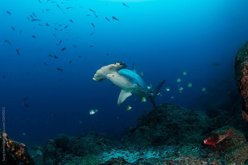 Barberfishes cleaning a scalloped hammerhead at a cleaning station,Scuba diver watching by Song Heming for Stocksy United