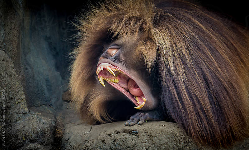 Baboon yawning by alan shapiro for Stocksy United