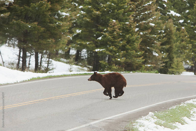 Bear Crosses Road by Kevin Russ for Stocksy United
