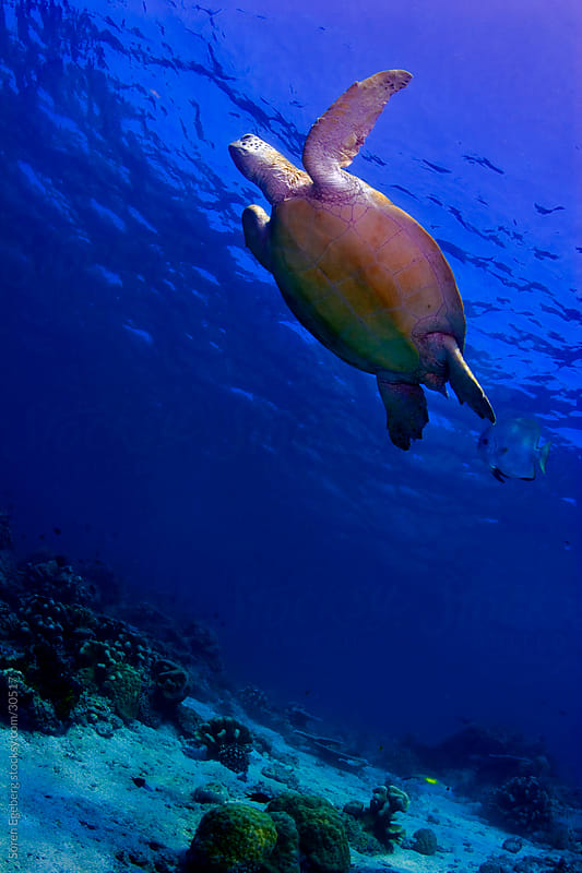 Green Sea turtle swimming over the coral reef underwater in Malaysia by Soren Egeberg for Stocksy United