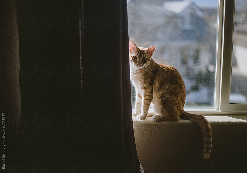 A cat sits in a sunny window against a curtain by Rachel Bellinsky for Stocksy United