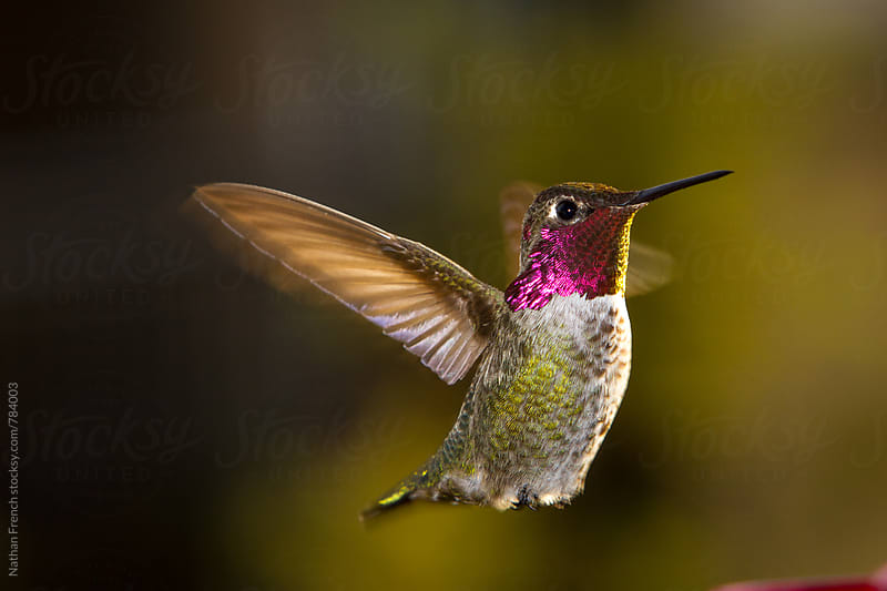 Eye to Eye with an Anna's Hummingbird  by Nathan French for Stocksy United