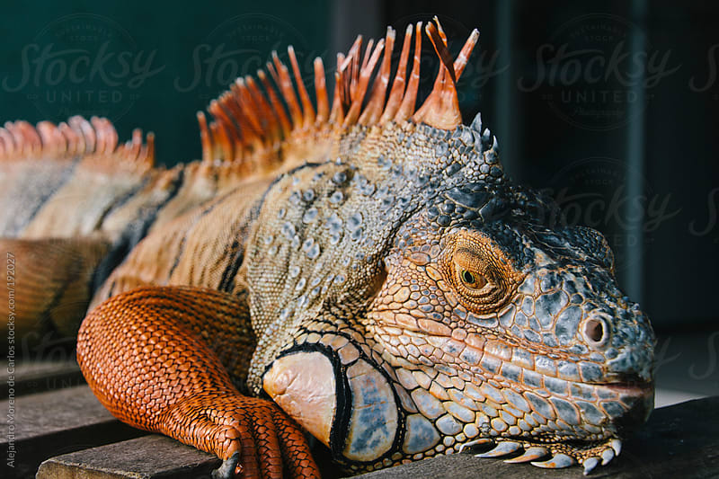Orange Iguana by Alejandro Moreno de Carlos for Stocksy United