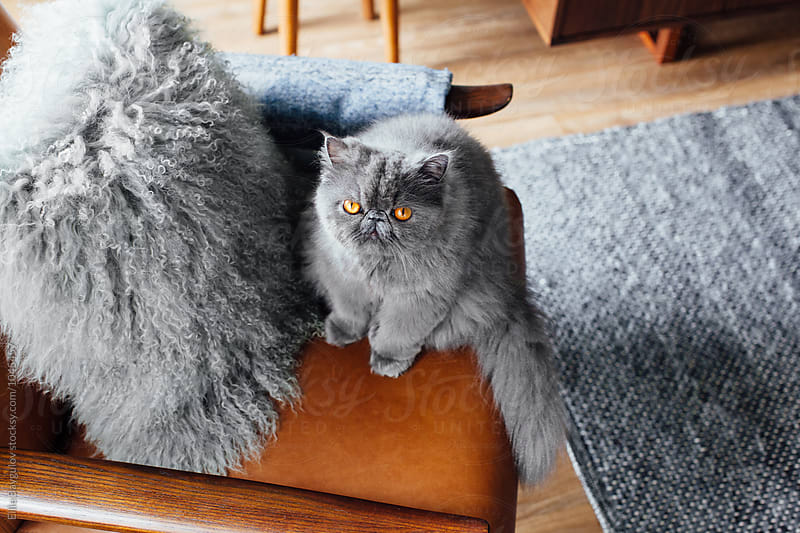 Fluffy kitty on a chair by Ellie Baygulov for Stocksy United