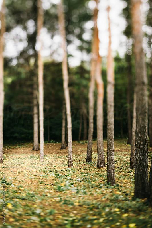 tilt-shift forest by Alexey Kuzma for Stocksy United