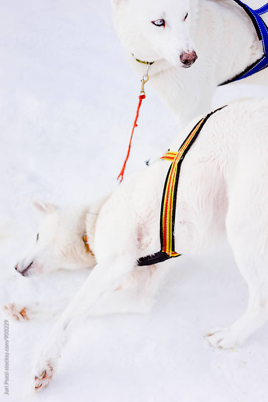 White sledding Husky having fun by Juri Pozzi for Stocksy United